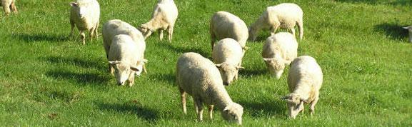 headers/sheepsummer.jpg